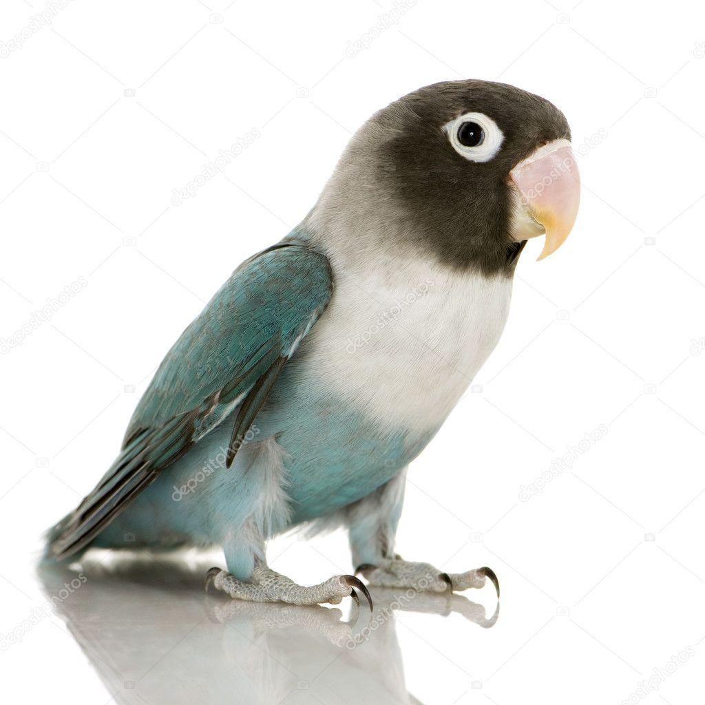 Blaue Schwarzköpfchen Agapornis Personata Stockfoto