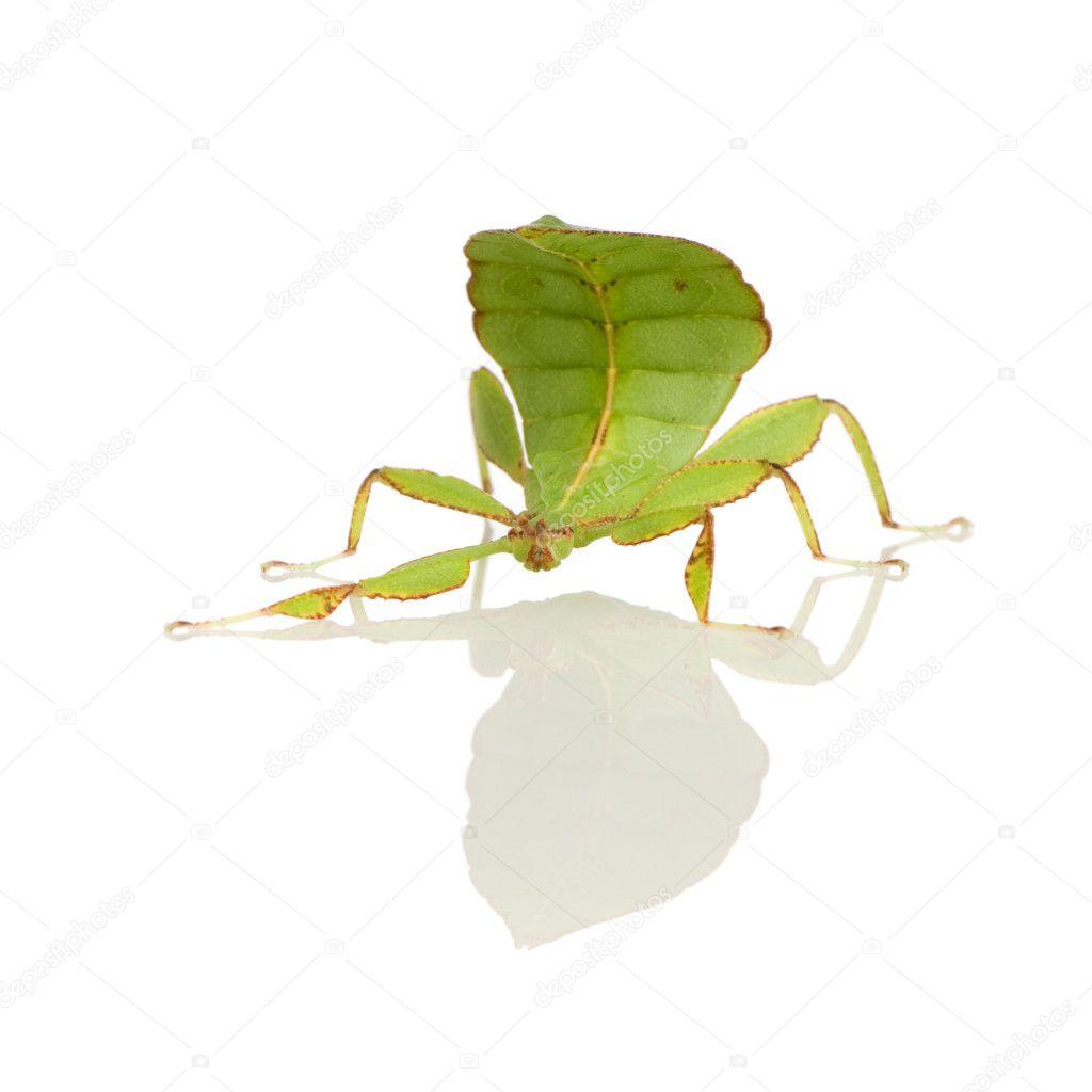 葉の昆虫、コノハムシ科 - phyll...
