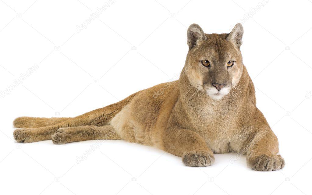 Puma (17 jaar) - Puma concolor — Stockfoto © lifeonwhite #10871966