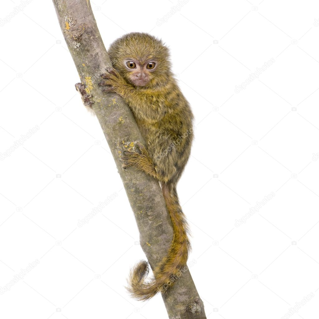 the main features of golden marmosets