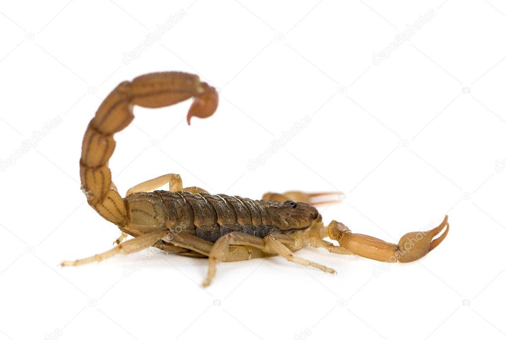 Если человеку снится скорпион, то есть вероятность того, что в реальности друг окажется врагом, а сам сновидец станет жертвой клеветы.