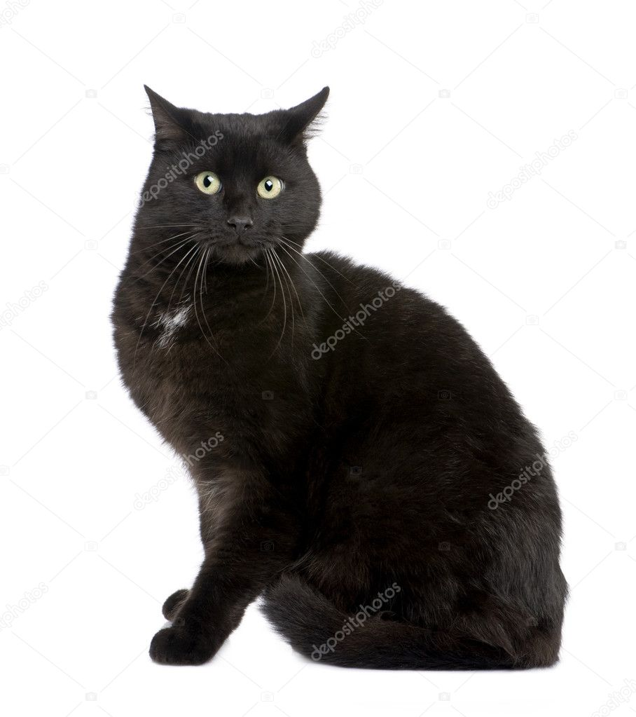 black european shorthair cat 5 years stock photo lifeonwhite