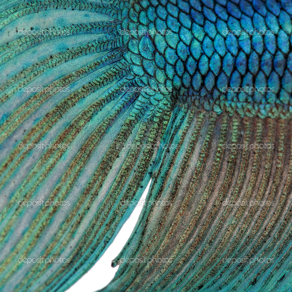 Close up on a fish skin blue siamese fighting fish for Mlf fishing scale