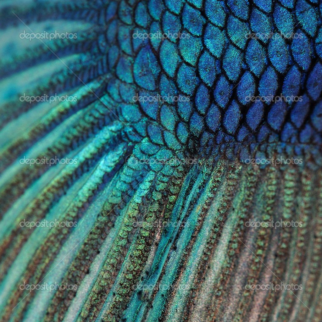 Close up auf einem fisch haut blau siamesische for Siamesische kampffische