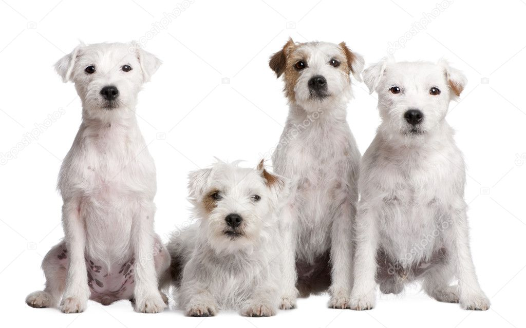 Group of 4 Parson Russell Terrier in front of a white background