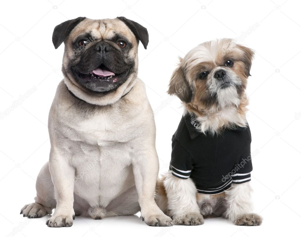 Couple Of Dogs Shih Tzu Dressed Up And A Pug Stock Photo
