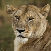 Photo Close-up of Serengeti National Park, Serengeti, Tanzania, Africa