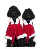 dvě štěňata Pudl královský v santa kabáty, 4 měsíce starý, sedící před bílým pozadím