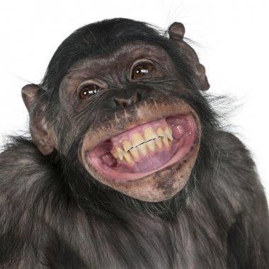 Mixed-Breed monkey between Chimpanzee and Bonobo