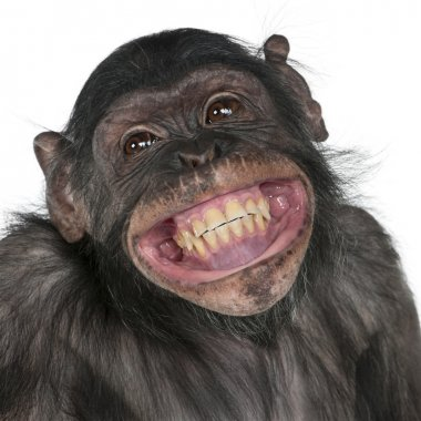 Close-up of Mixed-Breed monkey between Chimpanzee and Bonobo smiling, 8 years old stock vector