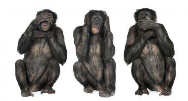 Three Wise Monkeys : Chimpanzee - Simia troglodytes (20 years ol