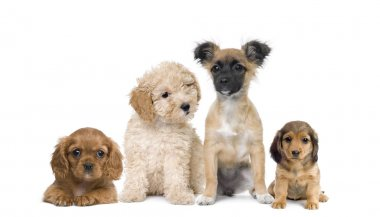 Group of puppy dogs in front of white background, studio shot