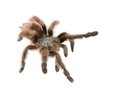 Antilles pinktoe tarantula, Avicularia metallica, against white background, studio shot