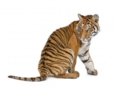 Bengal Tiger, Panthera tigris tigris, 1 year old, sitting in front of white background, studio shot