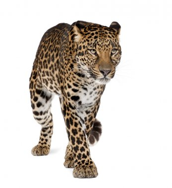 Leopard, Panthera pardus, walking against white background, studio shot