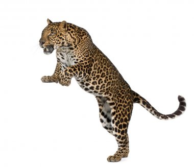 Leopard, Panthera pardus, in front of white background, studio s