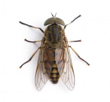 High angle view of pale giant horse fly, Tabanus bovinus, against white background, studio shot