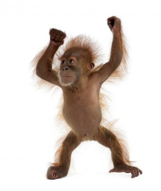 Baby Sumatran Orangutan, 4 months old, standing in front of whit