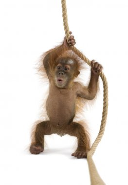 Baby Sumatran Orangutang (4 months old)