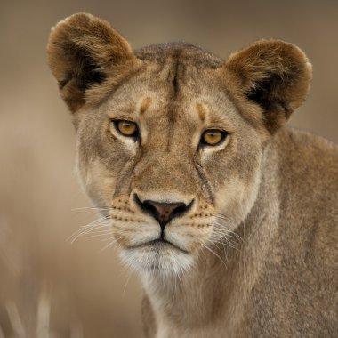 Close-up portrait of Serengeti National Park, Serengeti, Tanzania, Africa