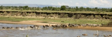 Wildebeest and zebra crossing the river in the Serengeti, Tanzan