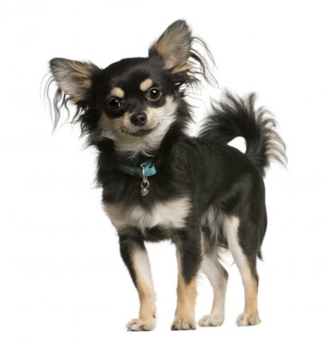 Chihuahua dog, 9 months old, standing in front of white background, studio shot