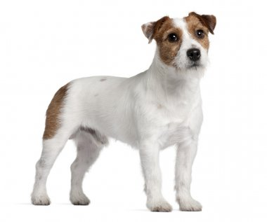 Jack Russell Terrier, 15 months old, standing in front of white