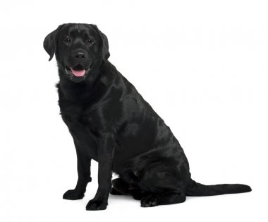 Black Labrador sitting in front of white background, studio shot