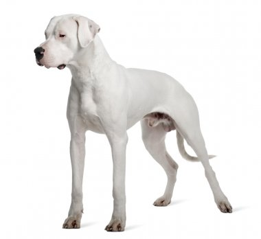 Argentine Dogo or Argentinean Mastiff dog, 1 year old, standing in front of white background