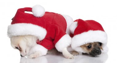 Two Chihuahua puppies in Santa Claus suits, 7 months old, sitting in front of white background