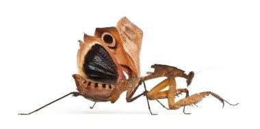 Giant Dead Leaf Mantis, Deroplatys desiccata, 7 months old, in front of white background