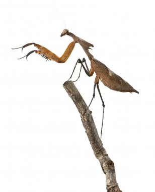 Giant Dead Leaf Mantis, Deroplatys desiccata, 4 months old, against white background