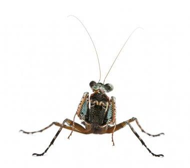 Theopompa SP, praying mantis