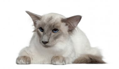 Balinese, 1 year old, lying in front of white background