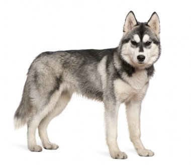 Siberian husky, 6 months old, standing in front of white background
