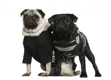 Two pugs, 2 years old and 10 months old, standing together in front of white background