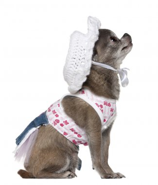 Dressed Chihuahua wearing a hat looking up, 7 years old, in front of white background