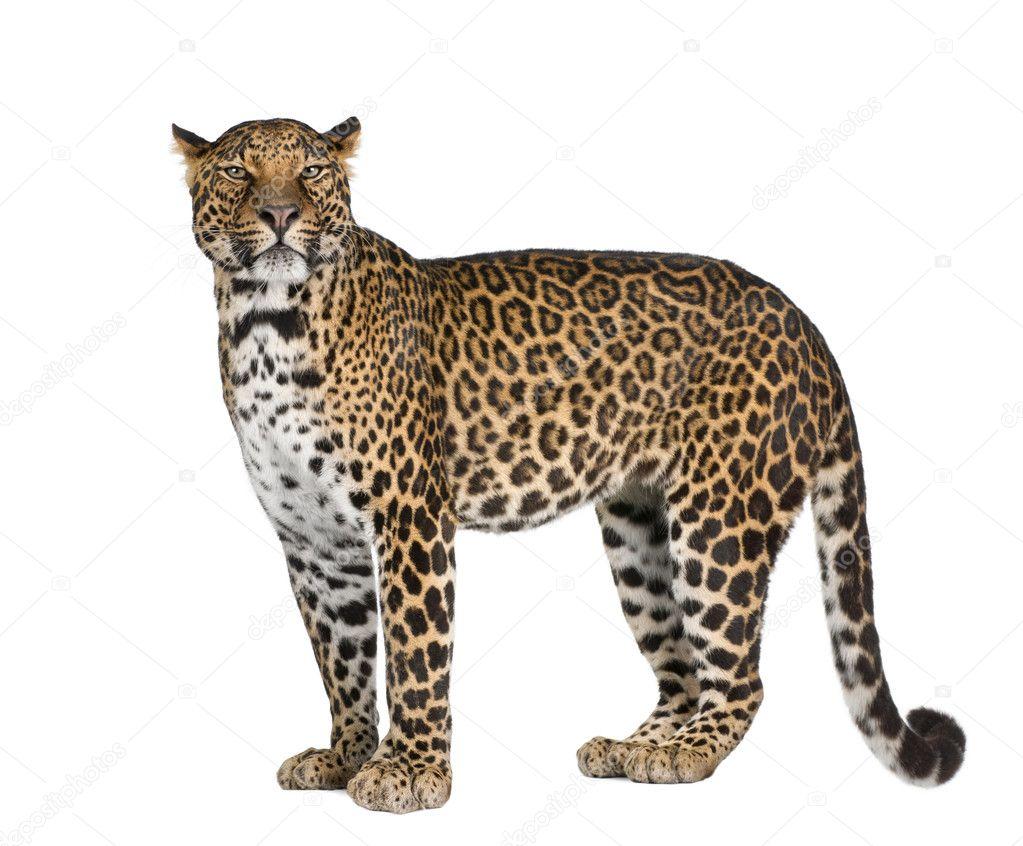 Retrato De Leopardo Panthera Pardus Parado Sobre Fondo