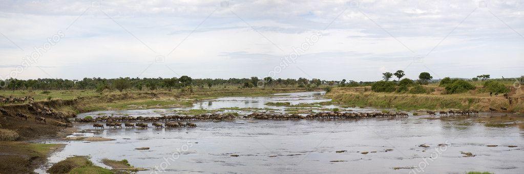 Wildebeest in river in the Serengeti, Tanzania, Africa