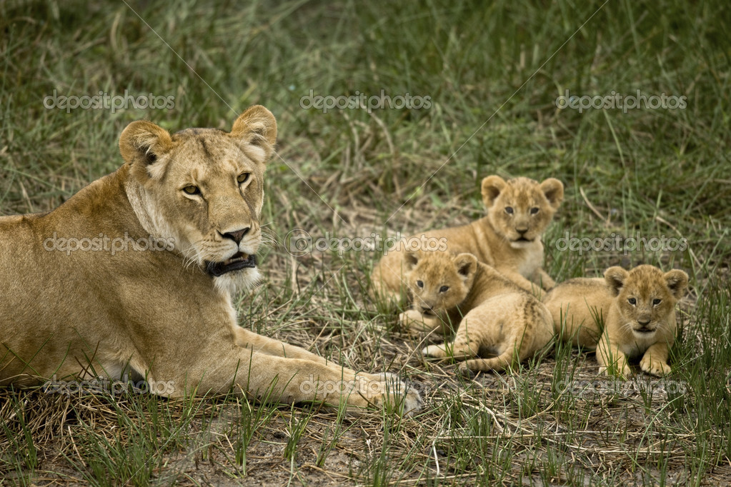 Lioness lying with her cubs in grass, looking at camera