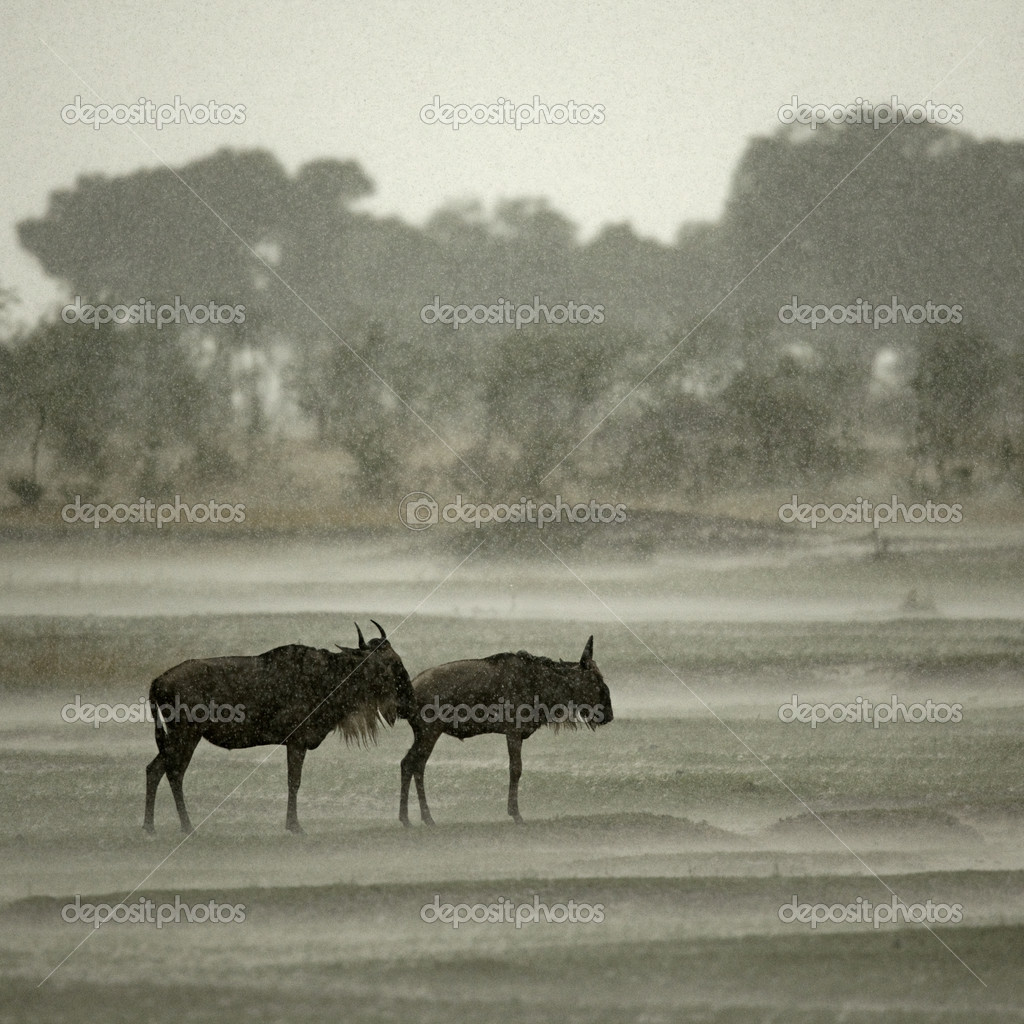 Wildebeest in the rain, Serengeti National Park, Serengeti, Tanz