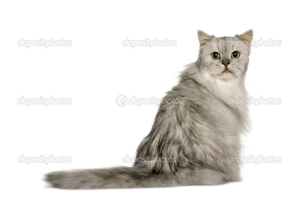6c1bb33f3653 Old Silver Persian cat