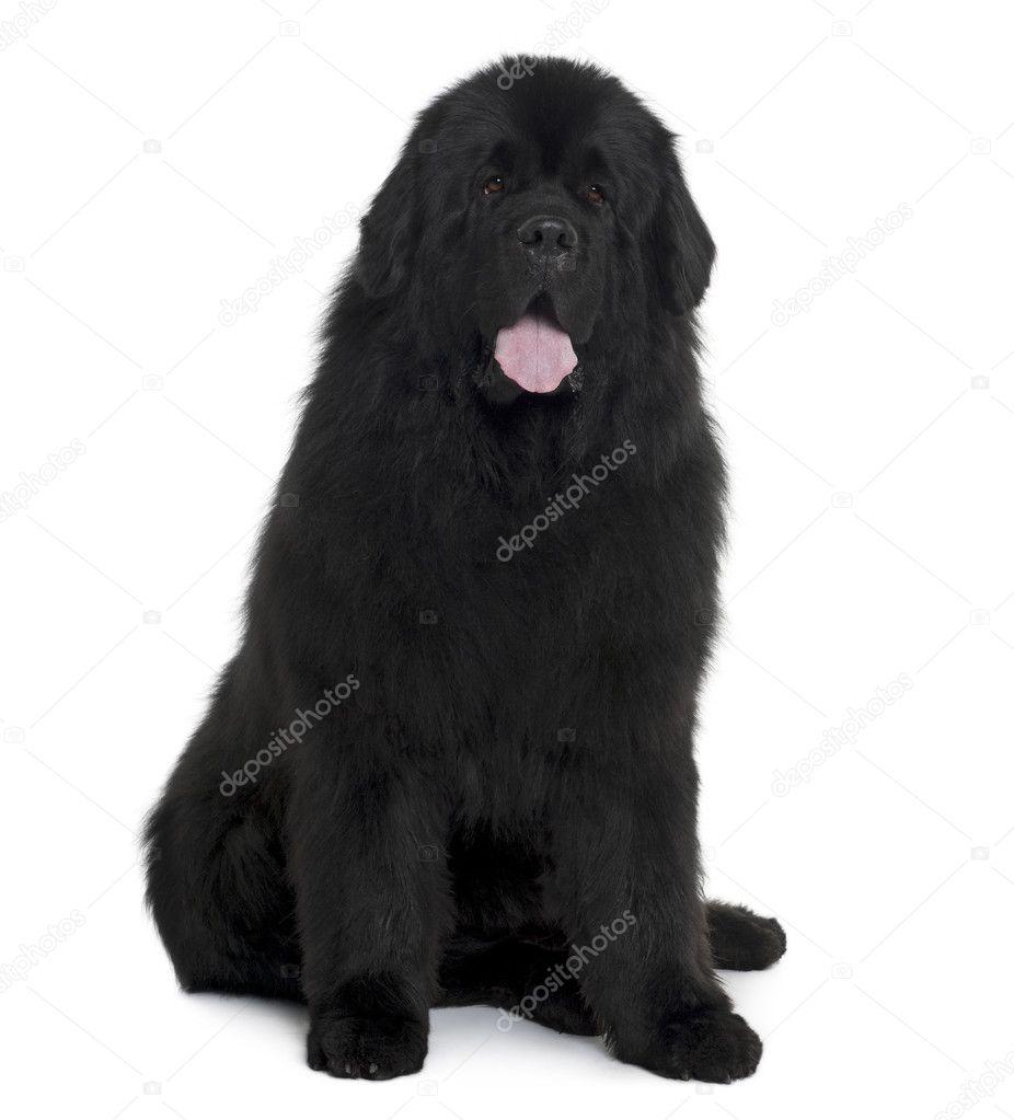Black Newfoundland Dog Sitting In Front Of White