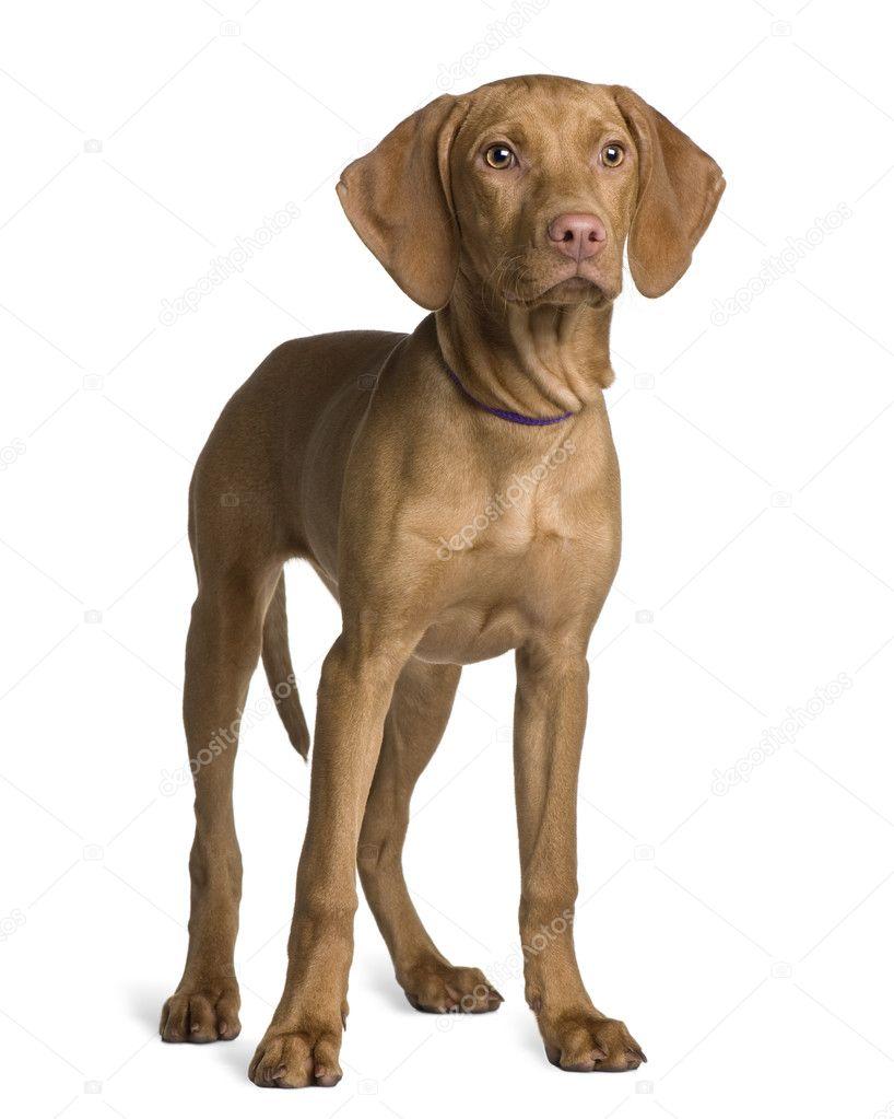 Vizsla hond puppy, 4 m...