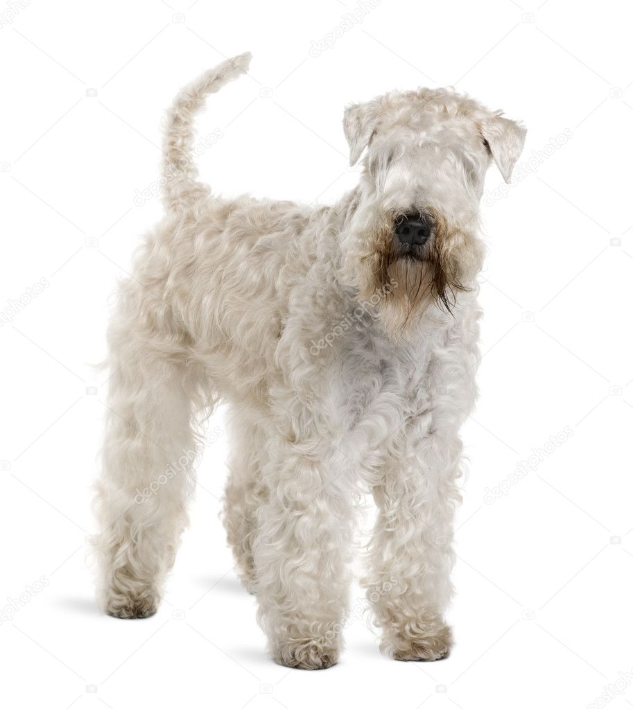 Soft-Coated Wheaten Terrier, 3 years old, standing in front of white ...