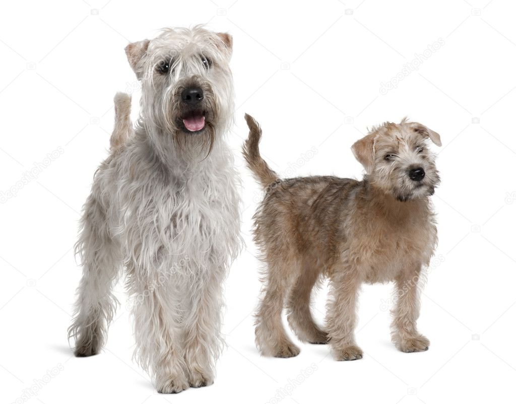 Two Soft-Coated Wheaten Terriers, 1 year old and 11 years old ...