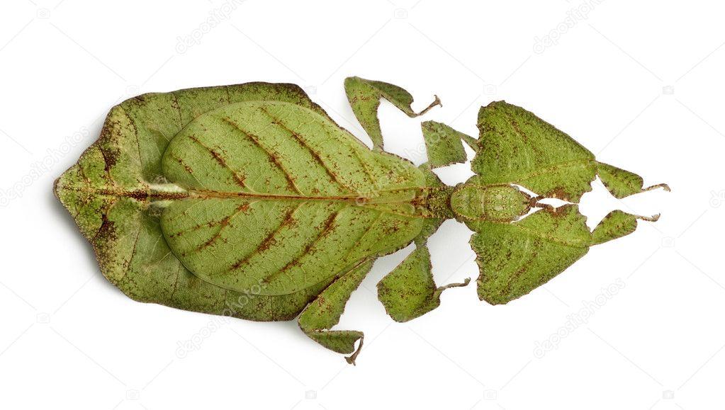phyllium bioculatum、葉の昆虫...