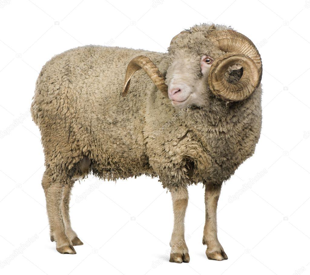 arles merino sheep ram 5 years old standing in front of white