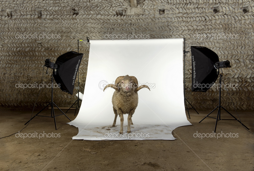 Arles Merino sheep, ram, 3 years old, standing in photo shoot studio