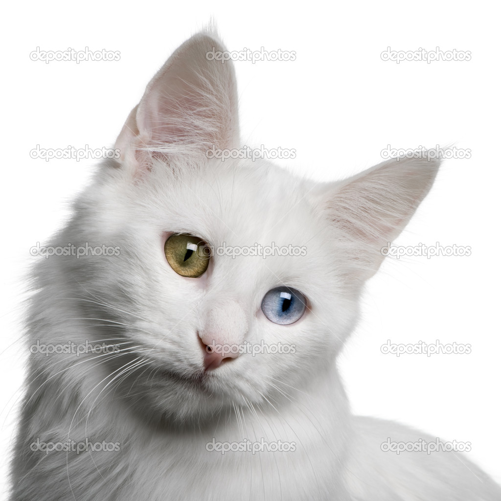 5bec95f484 Close up of a Turkish Angora (18 months old) in front of a white background  — Photo by ...